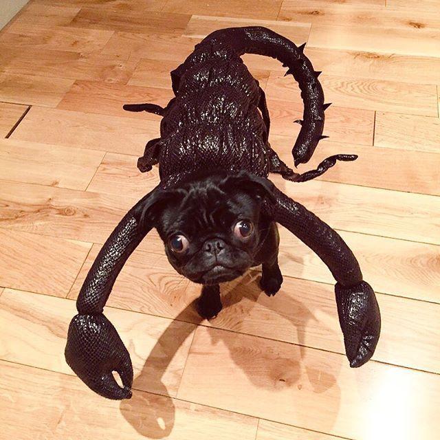 Pug Scorpion Funny Pet Costumes Pet Costumes Pugs Funny