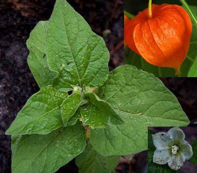 Chinese Lantern Plant Physalis Alkekengi Chinese Lantern Plant