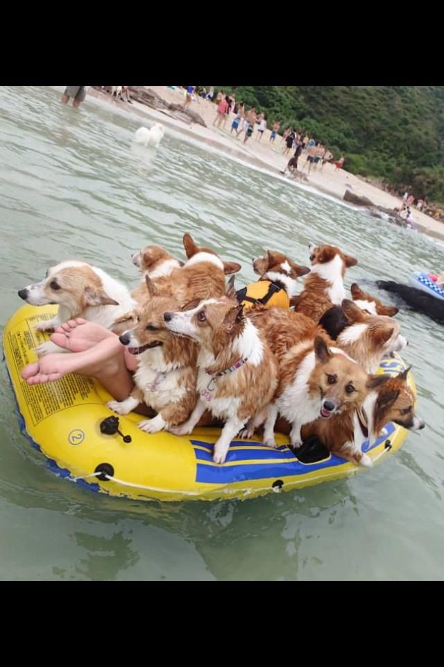 Corgis On A Boat Corgi Funny Animals Funny Dog Pictures