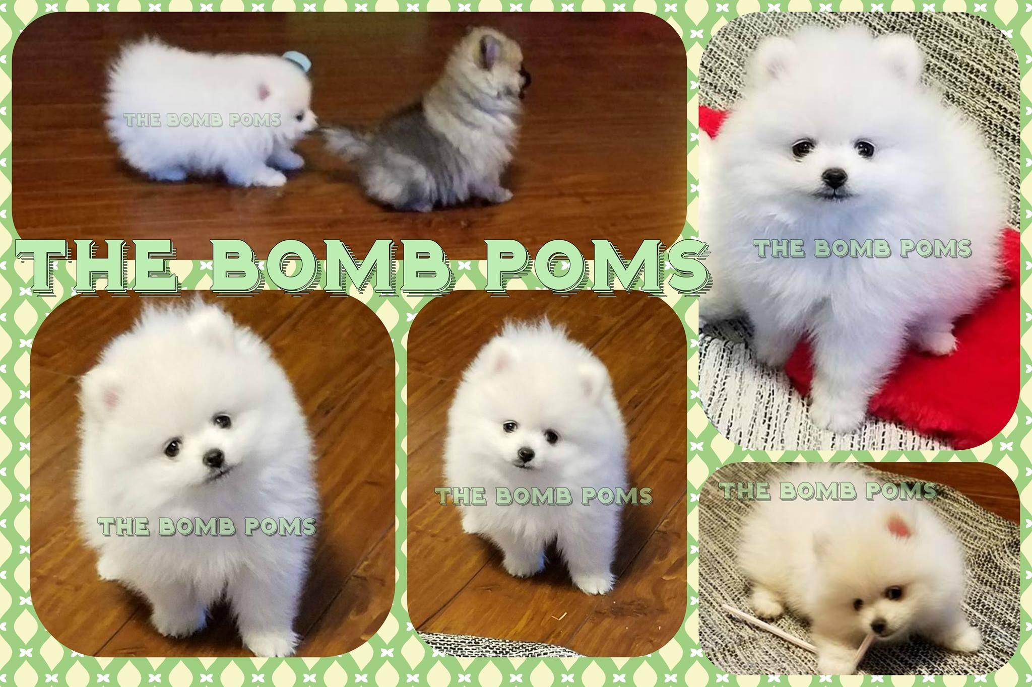 The Bomb Poms Pomeranian Puppy For Sale White Pomeranian
