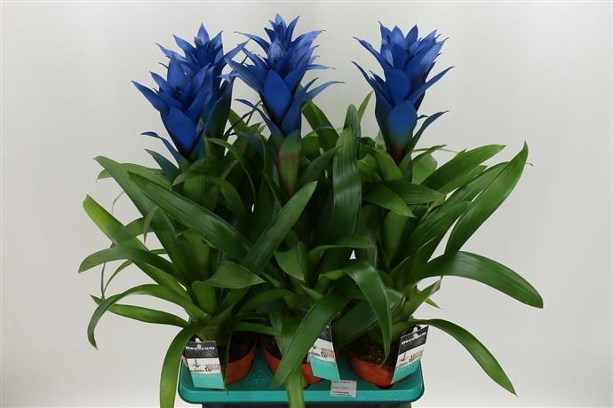 Guzmania Ocean Blue Plants Flowers Indoor Plants