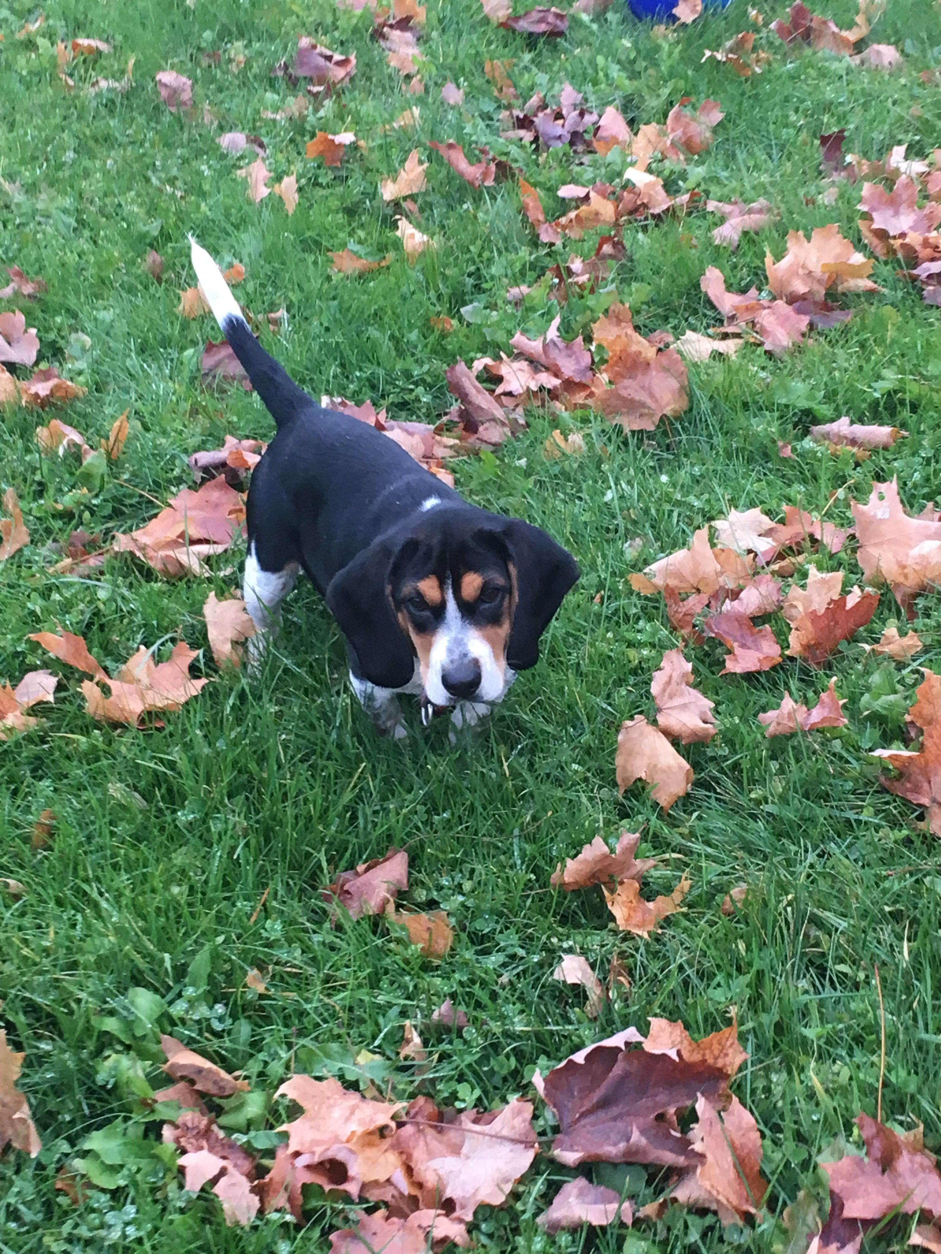 Hi My Name Is Seabee I M One Handsome Beagle My Parents Dawn And
