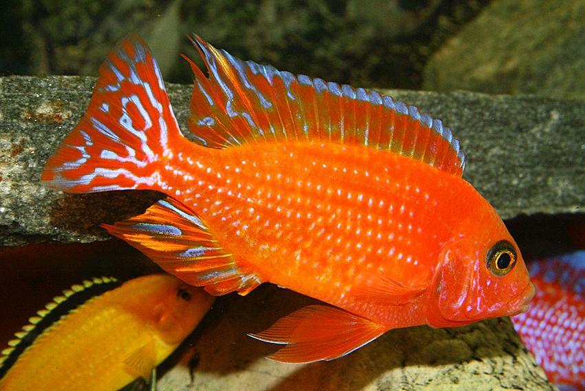 Aulonocara Firefish Coral Red Aquarium Fish Freshwater