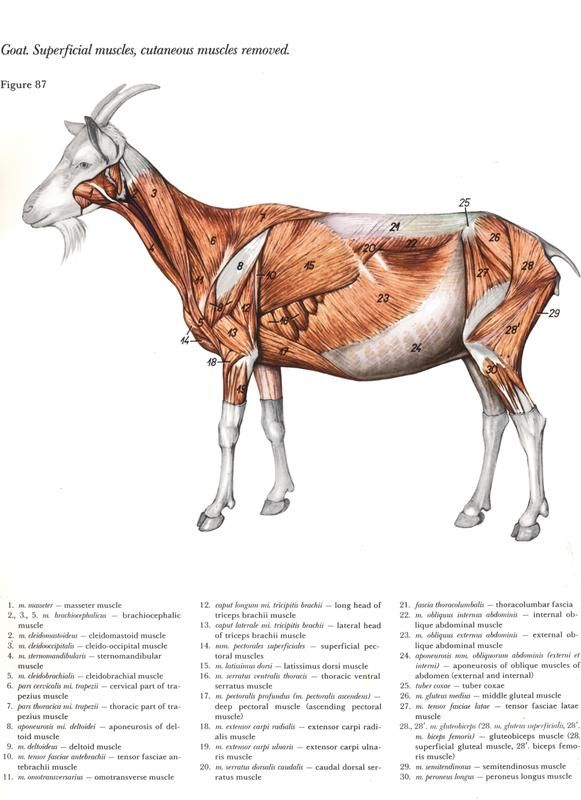 goat anatomy - Google zoeken | Anatomía animal | Pinterest | Atlas ...