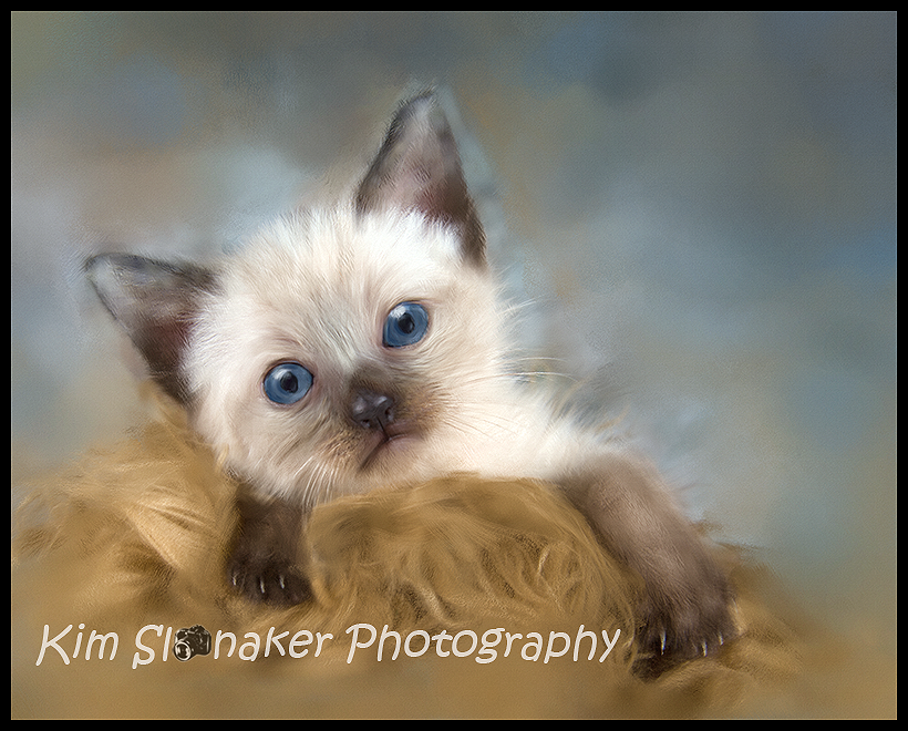 Fourweek old Siamese kitten. Painted in Corel. (With