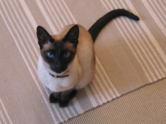 Siamese cat with dark brown