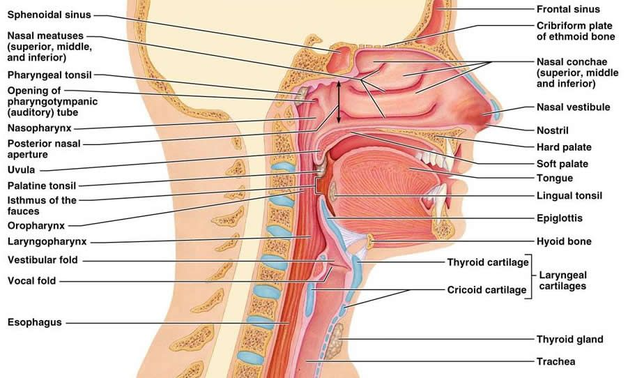 image result for diagram of the nasal cavity