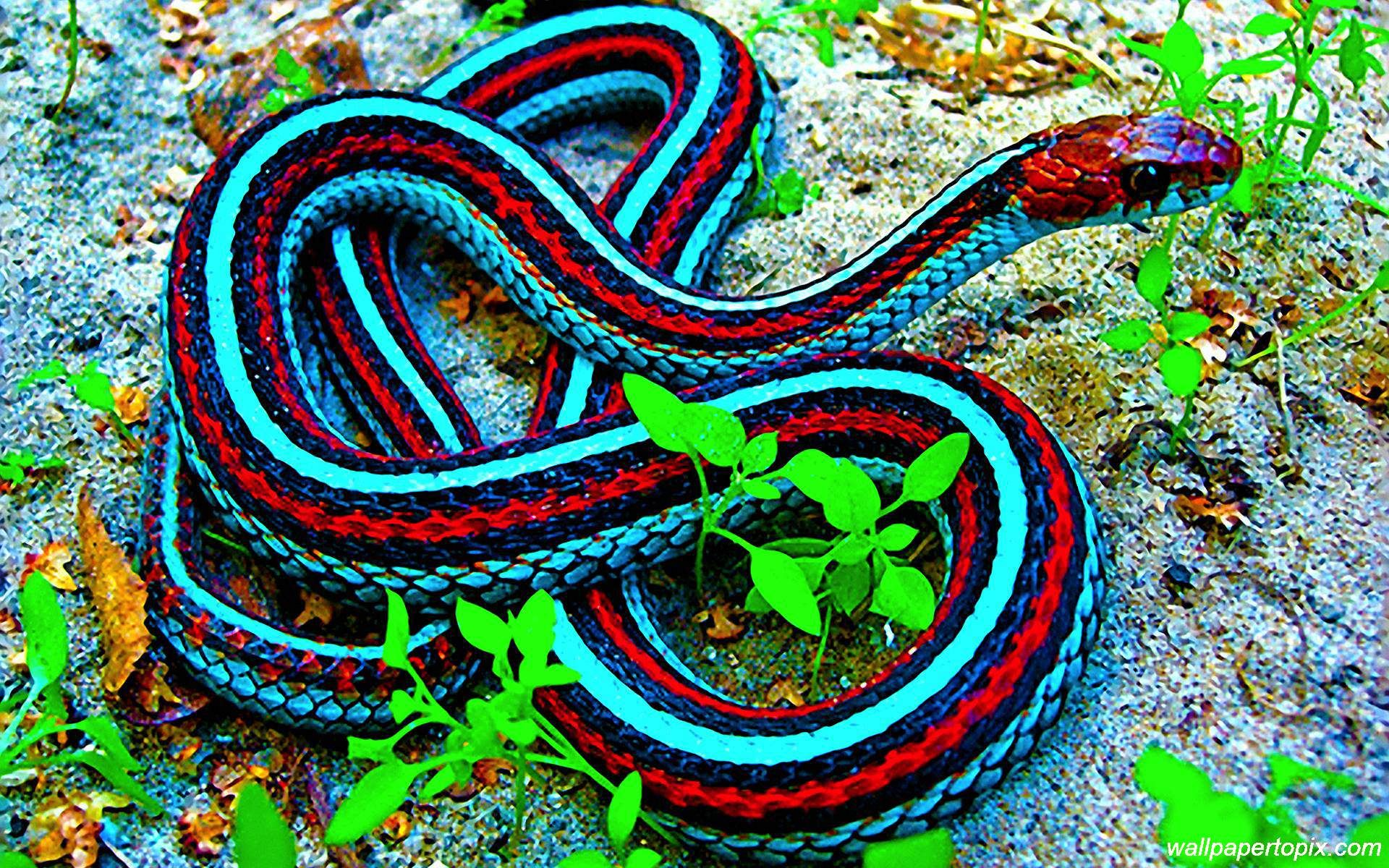 King Cobra Snakes Images