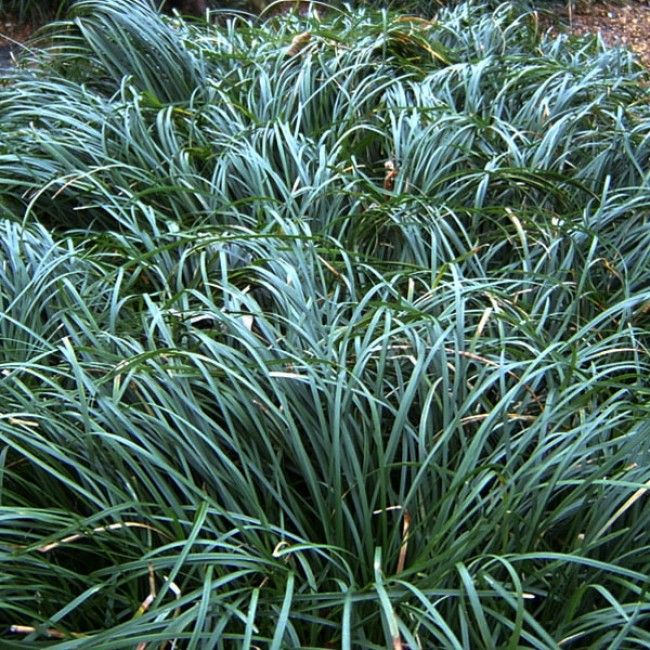 Dwarf mondo grass grasses landscaping ideas and plants for Dwarf ornamental grass plants