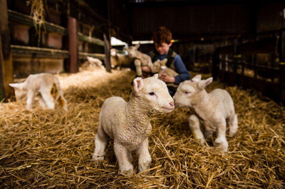 Corderos recién nacidos una granja en Chapel Amble, Cornwall, Inglaterra (Ben Birchall, 2016)