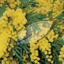Acacia Dealbata Gaulois Astier Mimosa Tree Evergreen Shrub