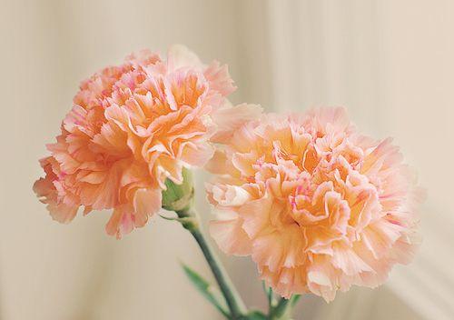 Orange Flowers Carnation Flower Pretty Flowers Peach Flowers