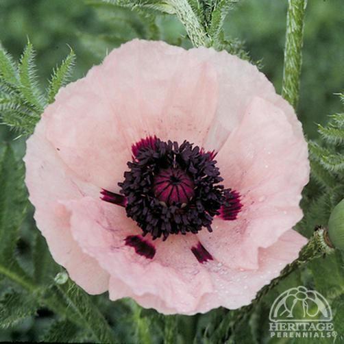 Oriental Poppy - Princess Victoria Louise