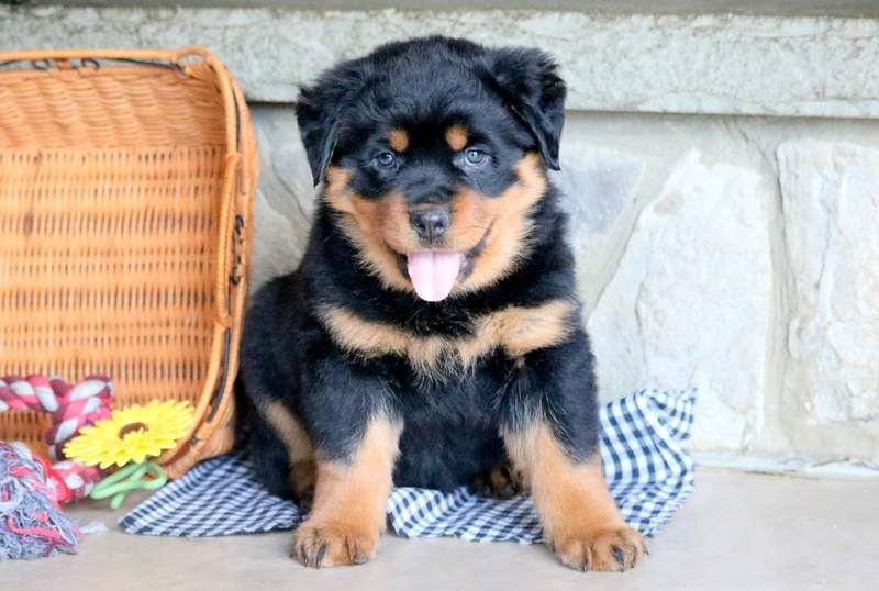 Butterfly Keystone Puppies Puppies For Sale Health Guaranteed