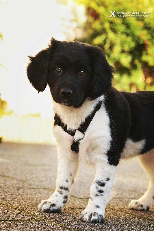 8 weeks old, puppy, friese stabij.   xina shots - dogs, pet dogs en