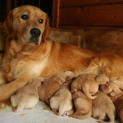 Goldren Retriever Dog And Puppies 3 Golden Dog Dog Love