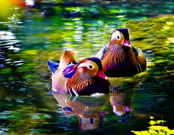 Mandarin Duck Pair by BrooklynImages on Etsy