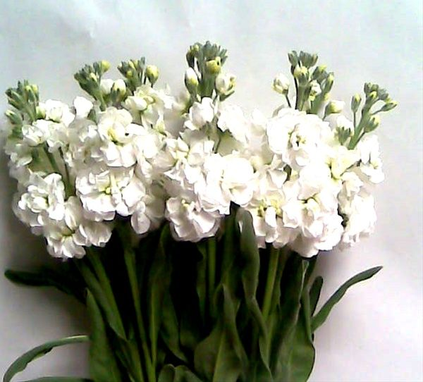 White Double Stock Flowers And Fillers Flowers By Category