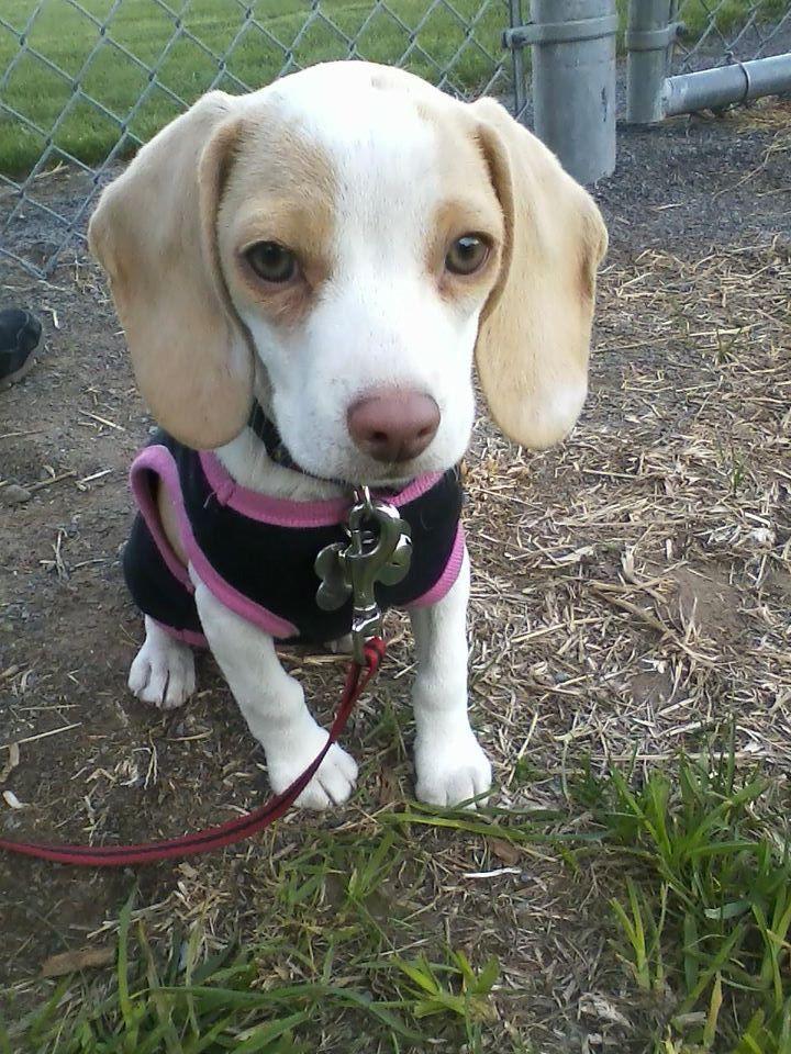 Lemon White Pocket Beagle Miniature Beagle Toy Beagle Http