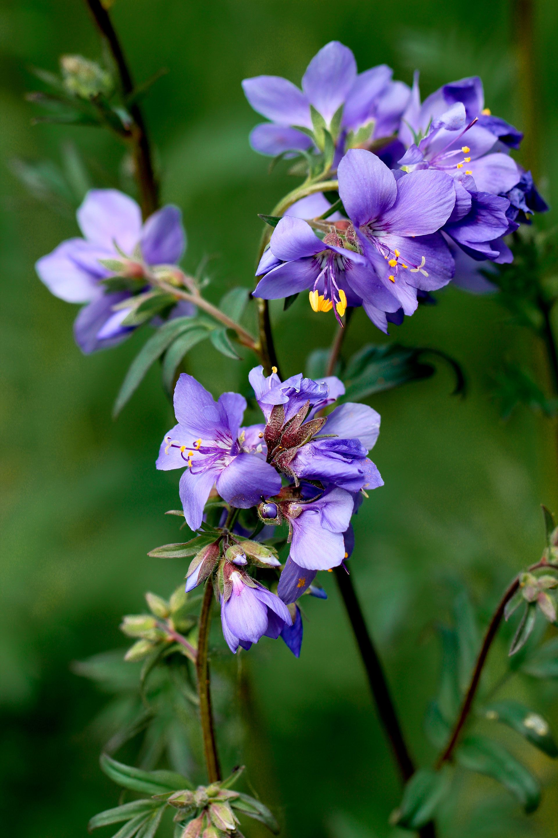 After the second bloom, leave the Jacob's Ladder blossoms intact to reseed later on.