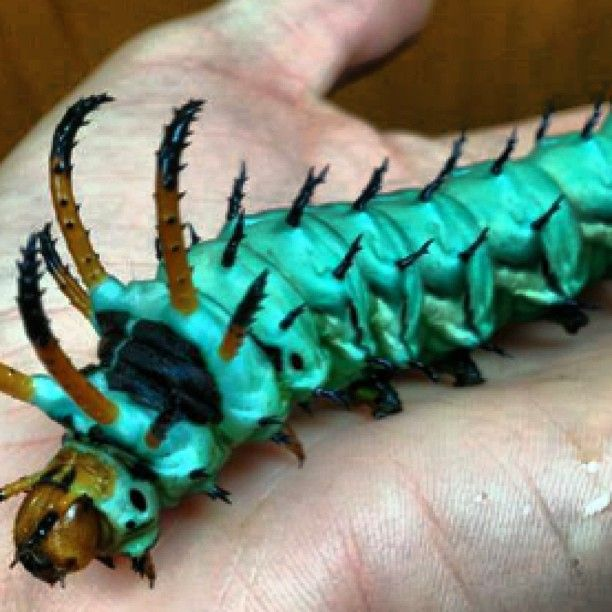 Hickory Horned Devil #caterpillar! Greenville, SC. #moth #insect More At FOSTERGINGER @ Pinterest ⛵️❤️️