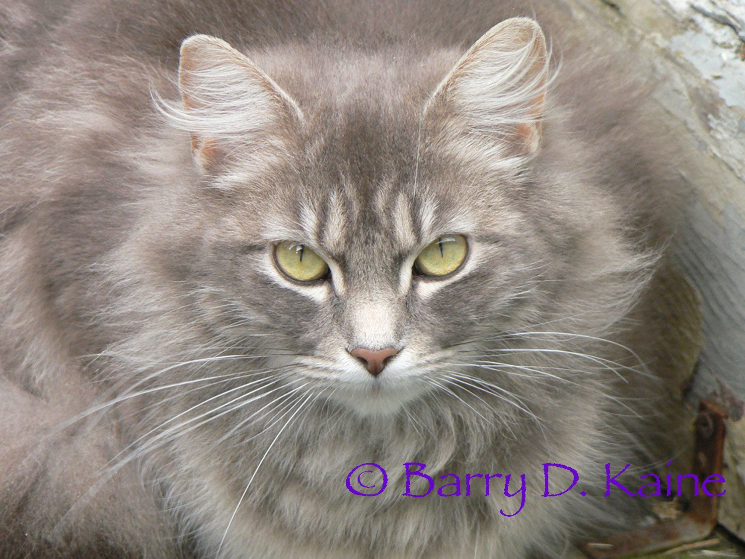 Grey Cat Photo Print Grey Cats Cats Old Cats