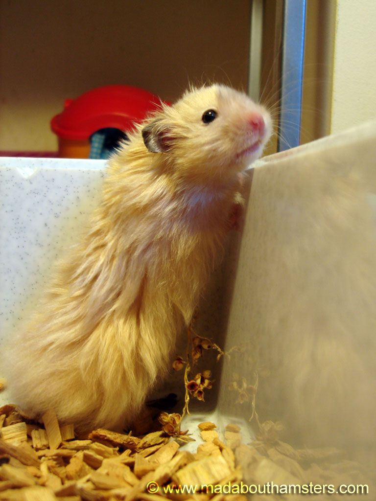 Long Haired Hamsters Cute Type Syrian Hamster Long Haired