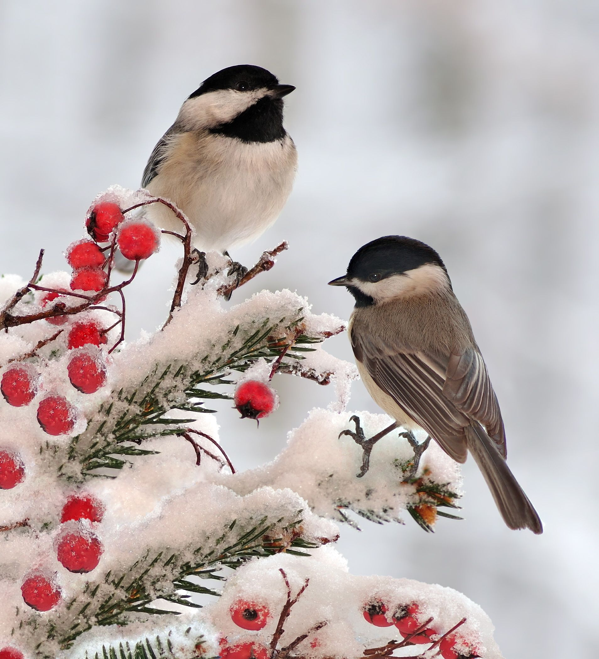 Backyard Bird Sanctuary: Backyard Birds: Marvel At Chickadees This Winter These