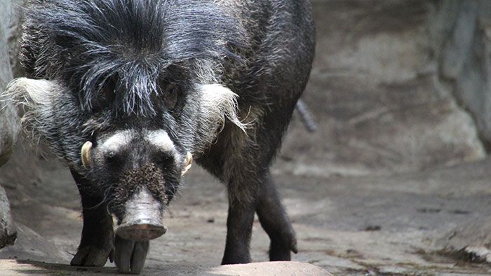 Visayan Warty Pig. The male Visayan warty pig regrows his mohawk every breeding season. It can grow almost two feet long, sometimes falling over his face and blocking his view. Get a haircut, pig.