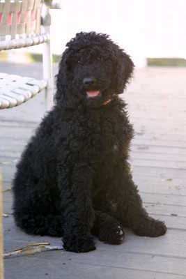 Gracie Mae This Is My Black Goldendoodle Goldendoodle Black