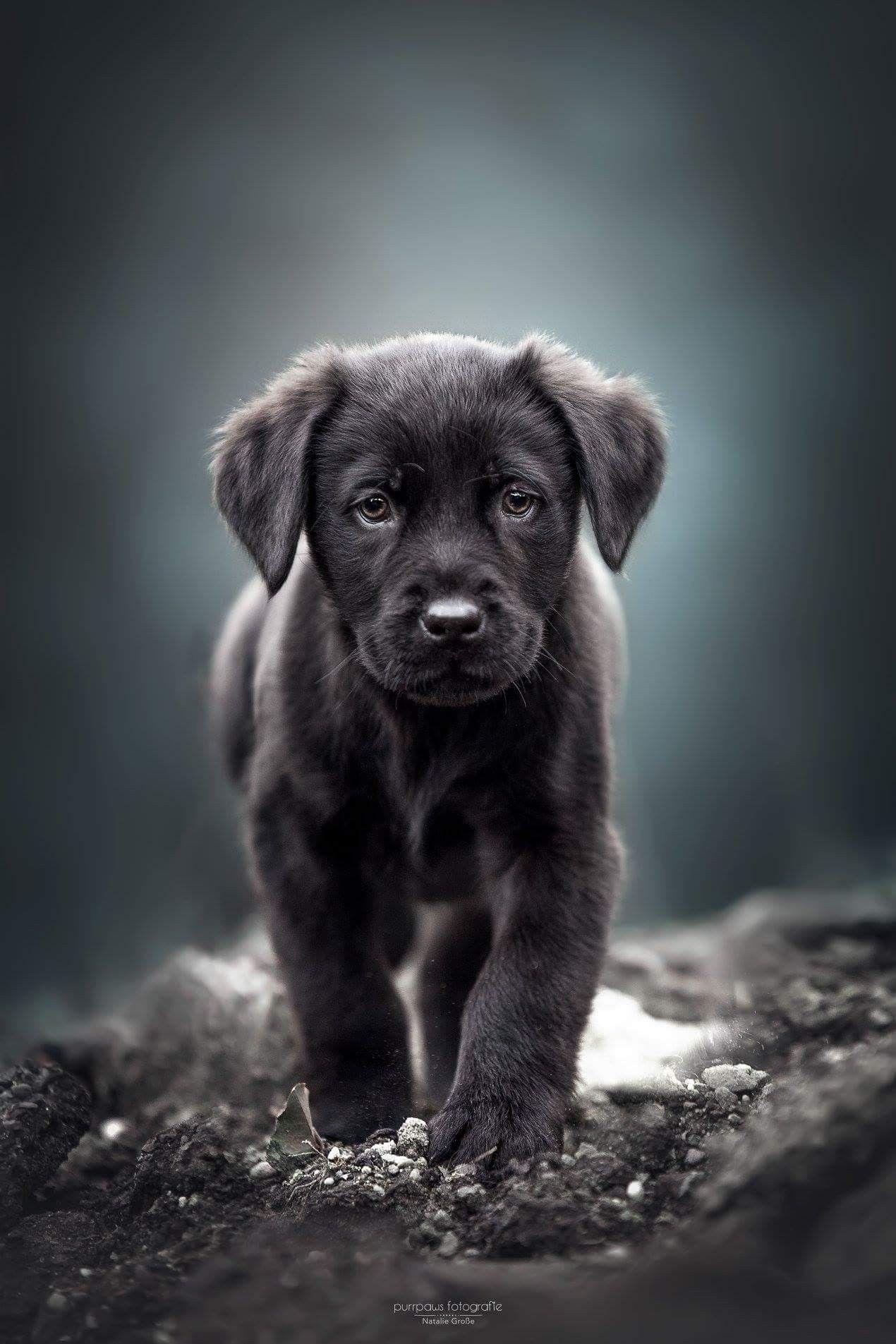 обои на телефон собаки лабрадор черный котором поселился