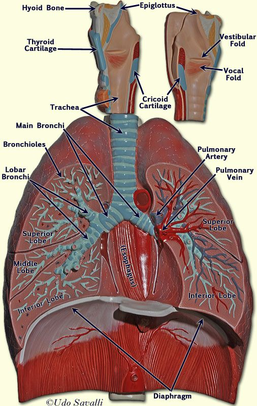 Respiratory model | A&P.4.Heart.Lung | Pinterest | Anatomy ...