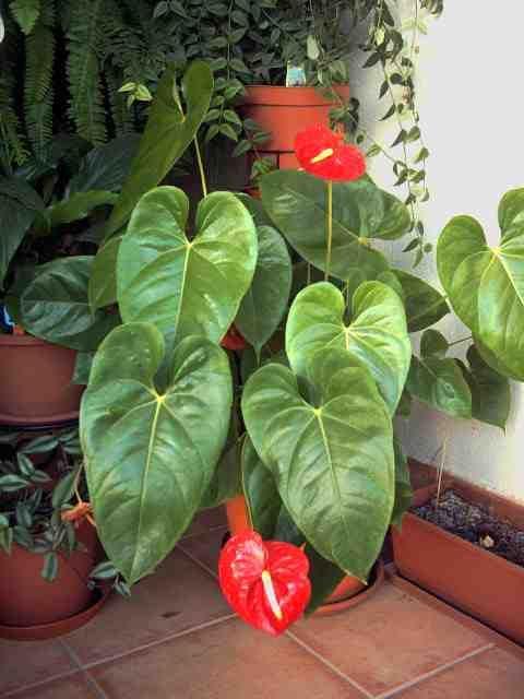 Anturio jardines tropicales pinterest plantas for Jardines de anturios