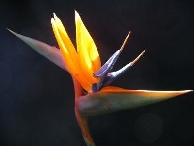 Propagating Bird Of Paradise Plants Growing Bird Of Paradise Seeds And Divisions Birds Of Paradise Plant Birds Of Paradise Flower Paradise Plant