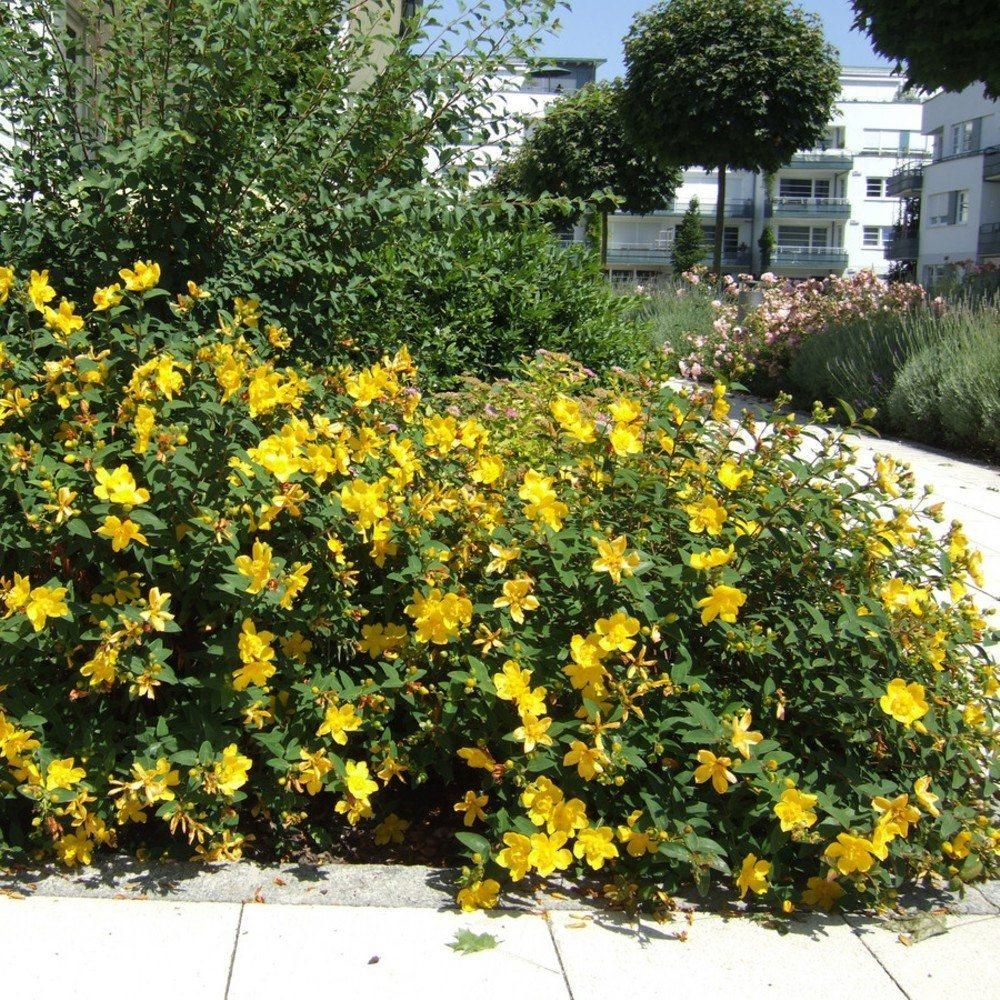 Schnell wachsender Bodendecker für alle Lagen Immergrüner Wuchs