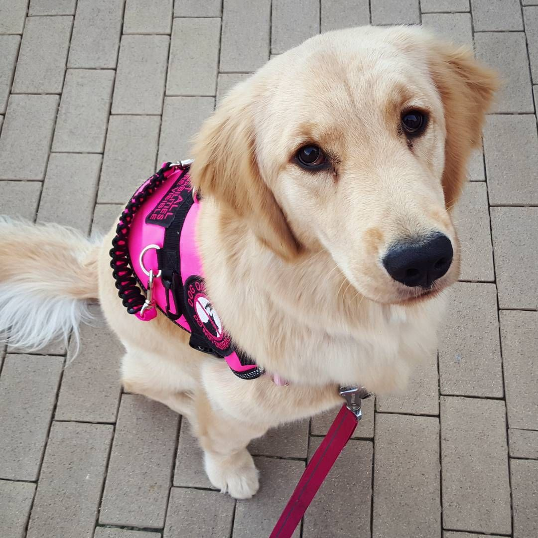Harlow The Helpful Pup Service Dog Vests Service Dogs Dogs