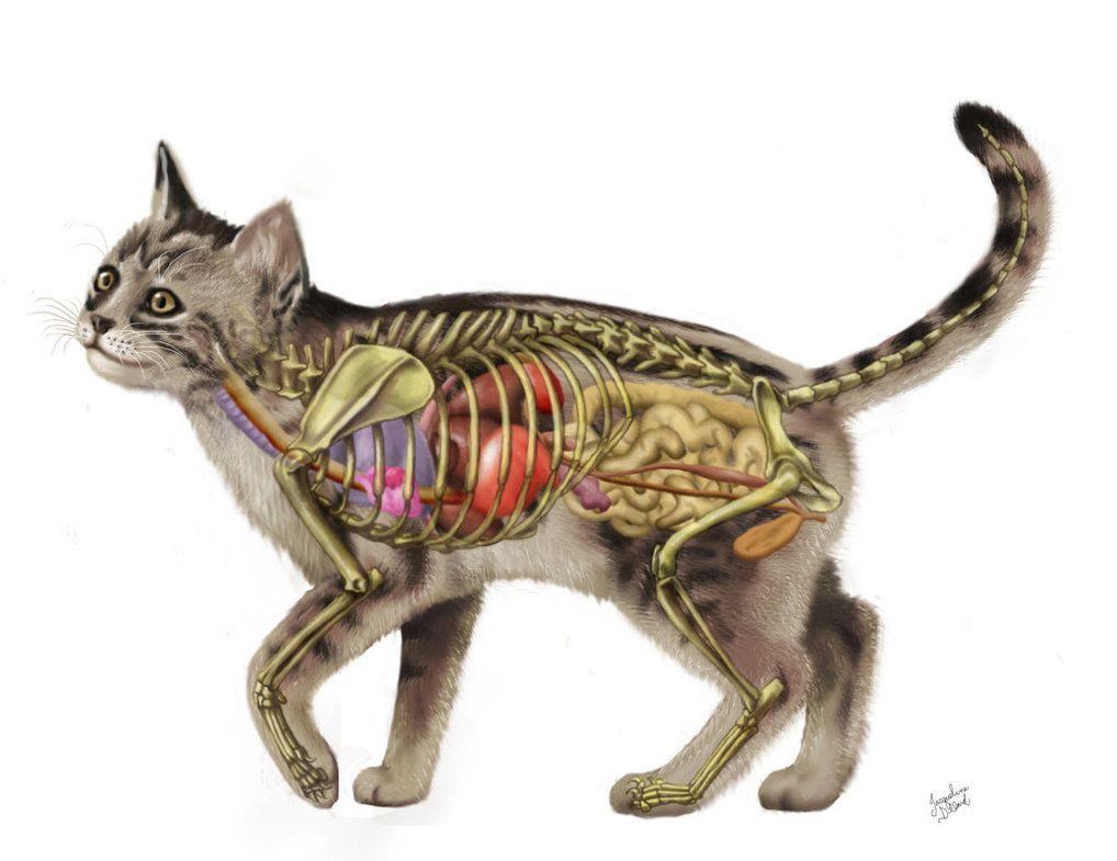 Cat Anatomy V2.0 by JacquelineRae | pets | Pinterest | Cat anatomy ...