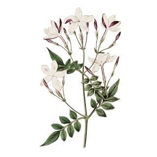Jasmine Plant Drawing Google Search Jasmine Flower Tattoos