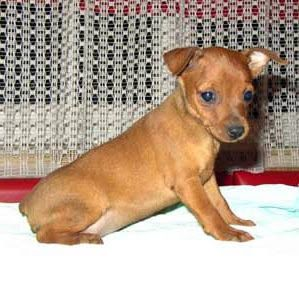 Miniature Pinscher Cute Dog Miniature Pinscher Miniature