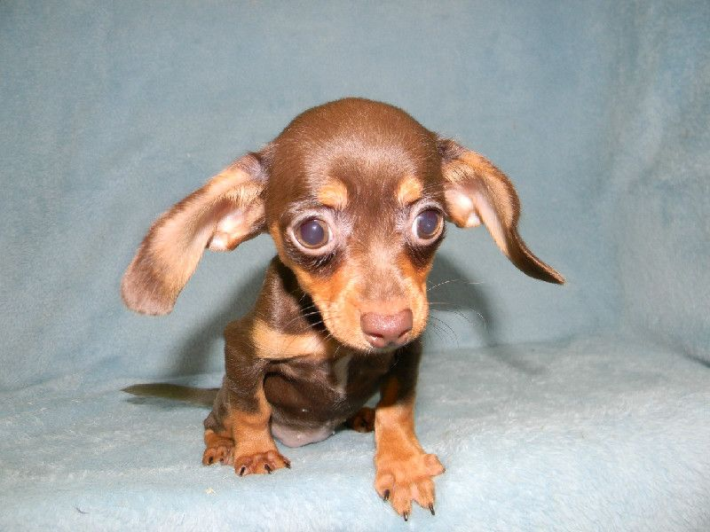 Mom The Other Puppies Made Fun Of My Ears Chiweenie