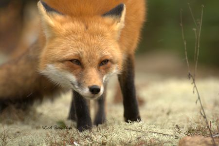 Red Fox by Lee Ann Fitzgibbon - National Geographic Your Shot
