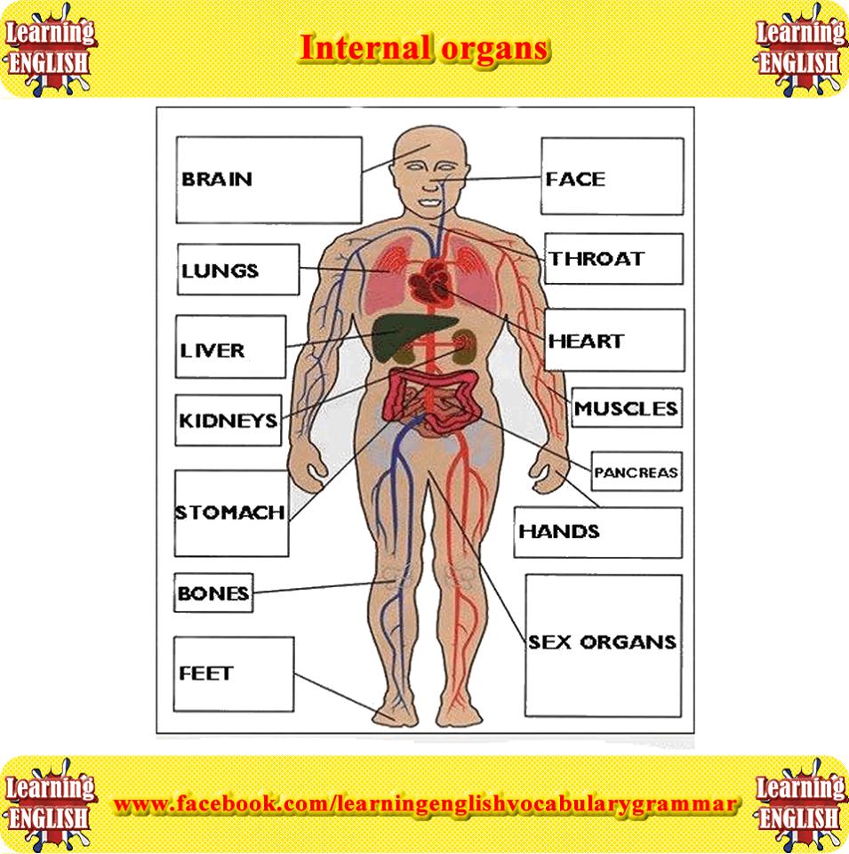 Forum | ________ Vocabulary | Fluent LandVocabulary: Internal Organs | Fluent…