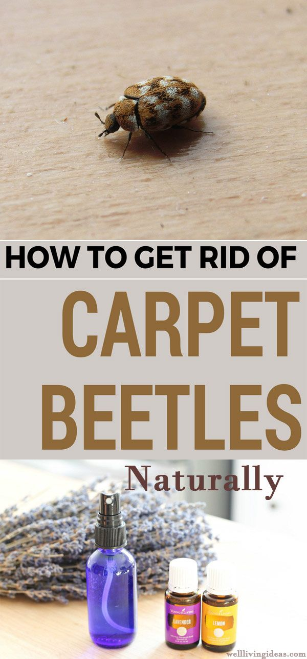 How To Get Rid Of Black Carpet Beetles Naturally
