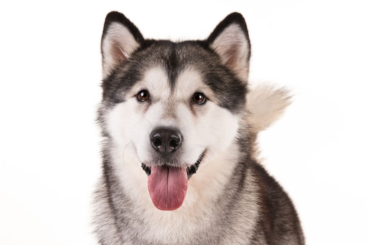 Alaskan Malamute Dog Breed Information Alaskan Malamute