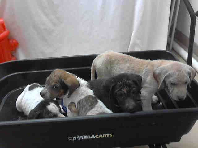 Texas Urgent Id A395595 Thru 98 Are Listed As Labrador Retriever Mix Puppy Dogs Appear To Have Demodetic Mange Are In Need Of A Dog Help Pets Puppies