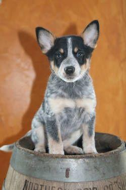 Blue Heeler Pup I Want Another Austrailian Cattle Dog Cattle Dogs Rule Blue Heeler Dogs