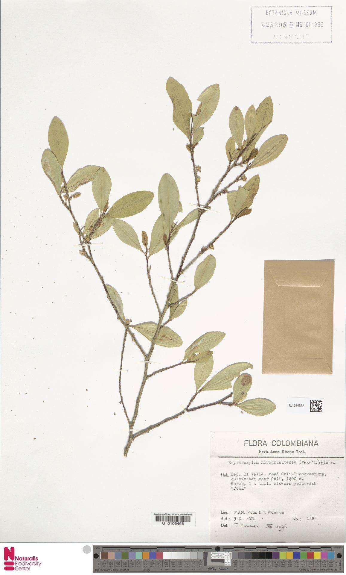U.1284672 | Erythroxylum novogranatense (Morris) Hieron.