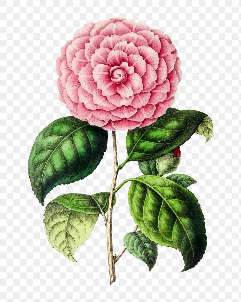 Hand Drawn Pink Camellia Flower Design Element Free Image By Rawpixel Com In 2020 Camellia Flower Design Element Botanical Illustration