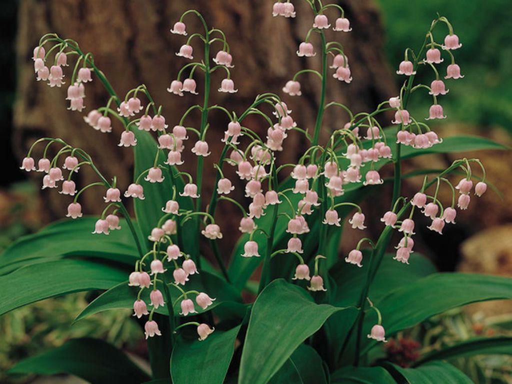 Convallaria Majalis Var Rosea World Of Flowering Plants Planting Flowers Birth Flowers Pink Lily
