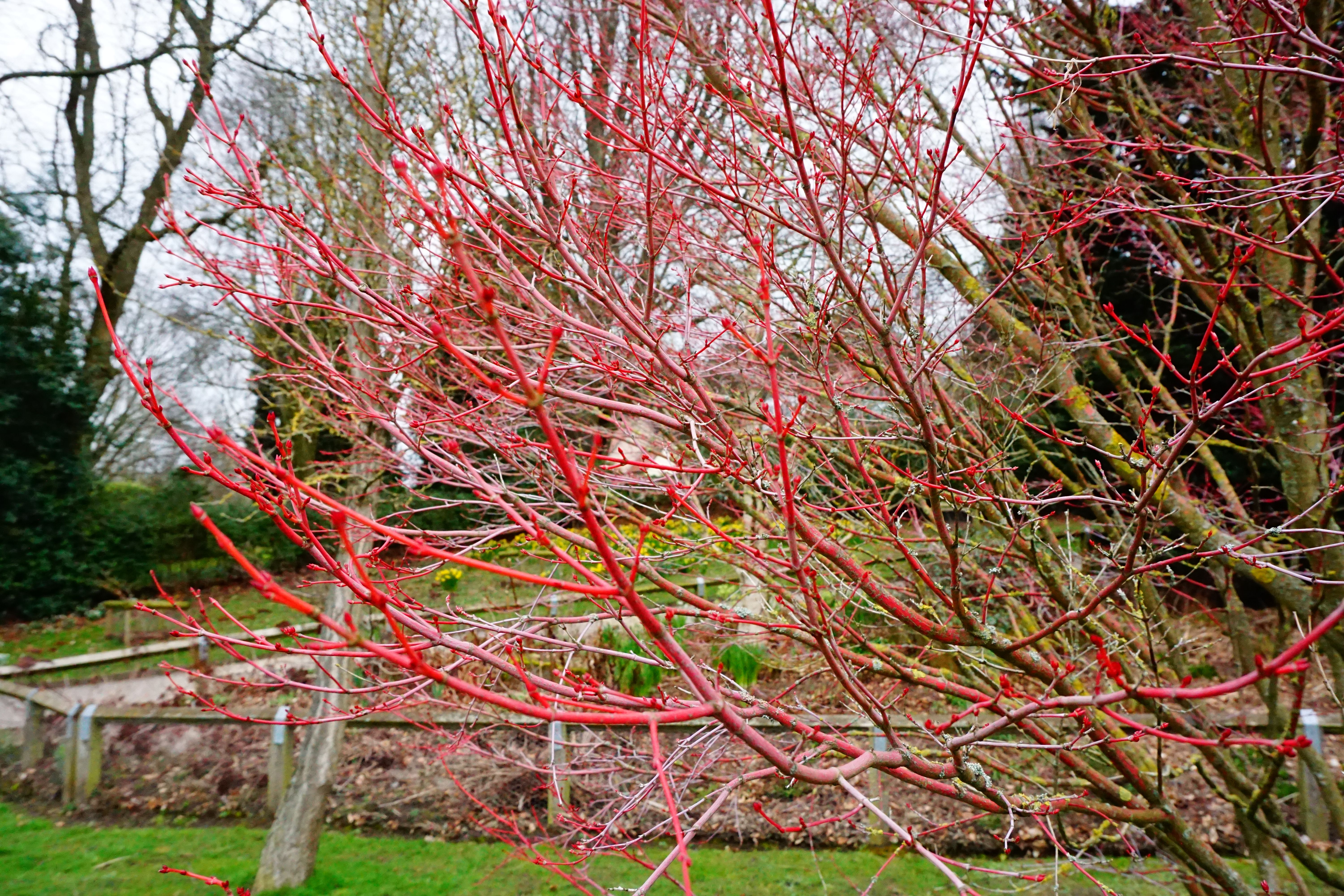 The bright red stems of Acer Palmatum Sangu Kaku. Photo by Alison ...